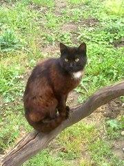 Віддається чорний кіт з білим пятном Марсік