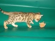 Питомник  бенгальских кошек,  предлагает  котят леопардового окраса.
