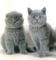 продается шотландская вислоухая и британская котята