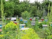 Карпатские пчеломатки