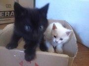 Два котёнка, Бесплатно.Только Ужгород.