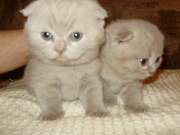 Продаються котята породы  шотландская вислоухая